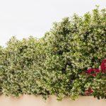 Gelsomino rampicante: caratteristiche, cure, coltivazione