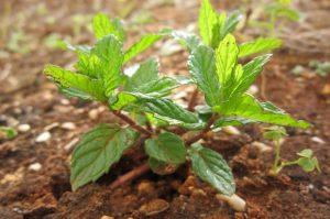 menta fertilizzante e cura del terreno