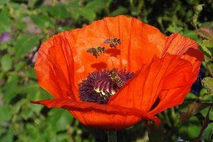 papavero biodiversità