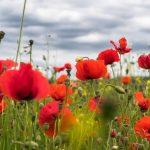 Papavero: 10 segreti di questo splendido fiore