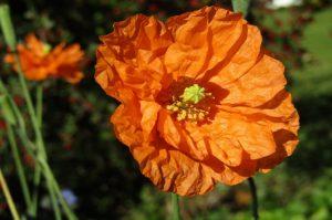 papavero linguaggio dei fiori