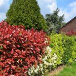 Photinia: la siepe rossa che colora il tuo giardino