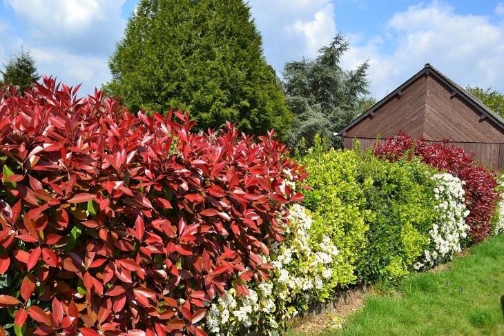 photina foglie rosse