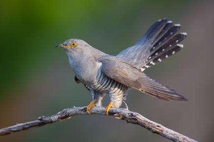 Cuculo: tutti i segreti dell'uccello più solitario del pianeta