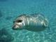 """Foca monaca a Capraia: l'isola """"chiude"""" il mare per salvare l'animale"""