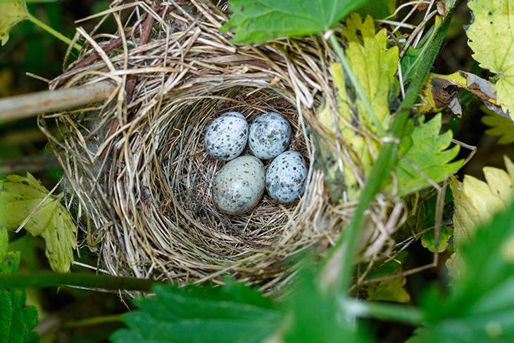 Uova e accoppiamento cuculo