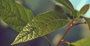 avocado parassiti