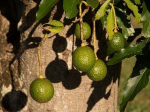 avocado annaffiature e concimazione