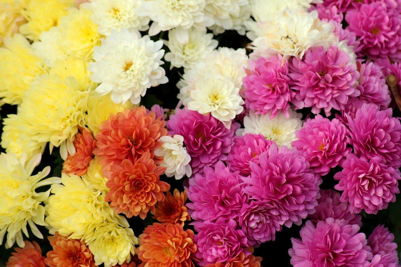 crisantemi varietà