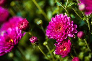crisantemi moltiplicazione