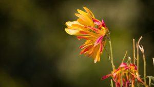 crisantemi malattie