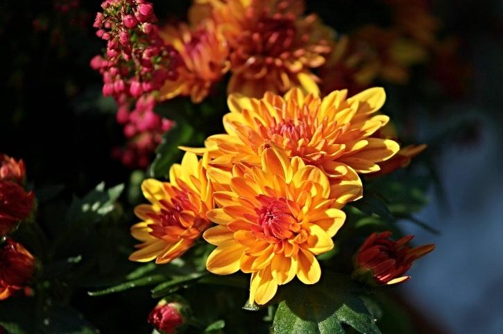 crisantemi colori