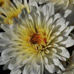 Crisantemi: storia, significato, caratteristiche e curiosità