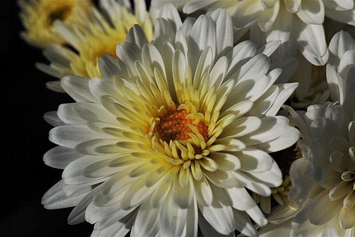 crisantemi origini