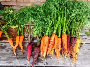 ortaggi come coltivare carote