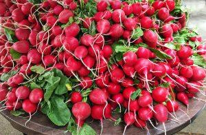 ortaggi come coltivare ravanelli
