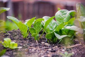 ortaggi come coltivare spinaci