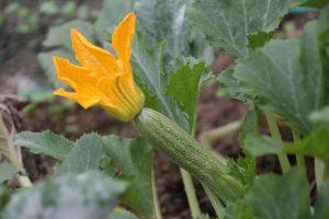 ortaggi come coltivare zucchine