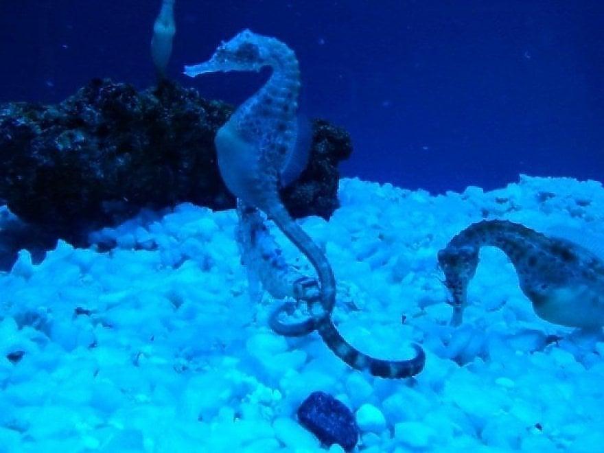 Secche di Tor Paterno cavallucci marini
