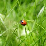 Coccinella: curiosità sull'animale fortunato che protegge l'orto