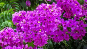 fiori estivi come coltivare la bougainvillea
