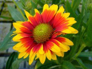 fiori estivi come coltivare la gaillardia
