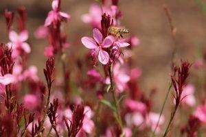 fiori estivi come coltivare la gaura lindheimeri