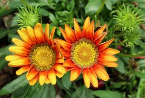 fiori garzania