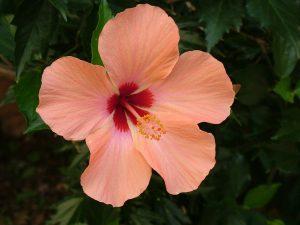 fiori estivi hibiscus