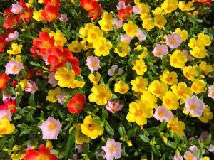 fiori estivi come coltivare la portulaca