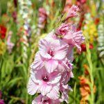 Gladiolo: tutto ciò che devi sapere sul fiore da balcone più scenografico