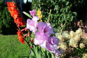 gladiolo le cultivar più diffuse