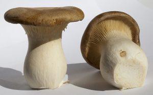 funghi commestibili cardoncello