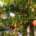 Melograno: cura, coltivazione e varietà dell'albero da giardino