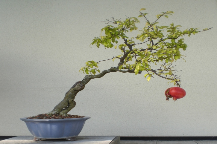 melograno cultivar