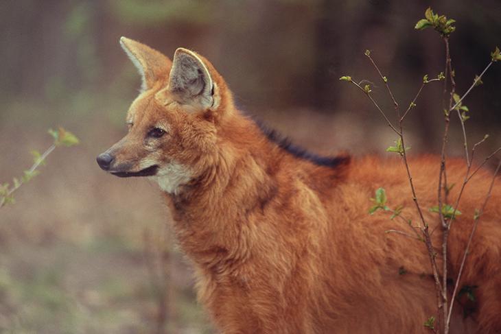 """Crisocione: tutti i segreti del """"lupo dalla criniera"""" in via di estinzione"""