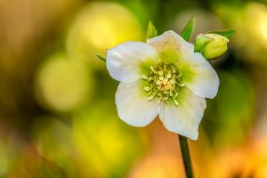 piante invernali rosa di natale