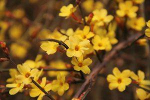 piante invernali gelsomino di san giuseppe