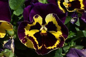 piante invernali viola del pensiero