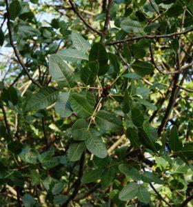 pistacchio potatura