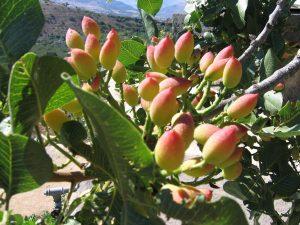 pistacchio annaffiare