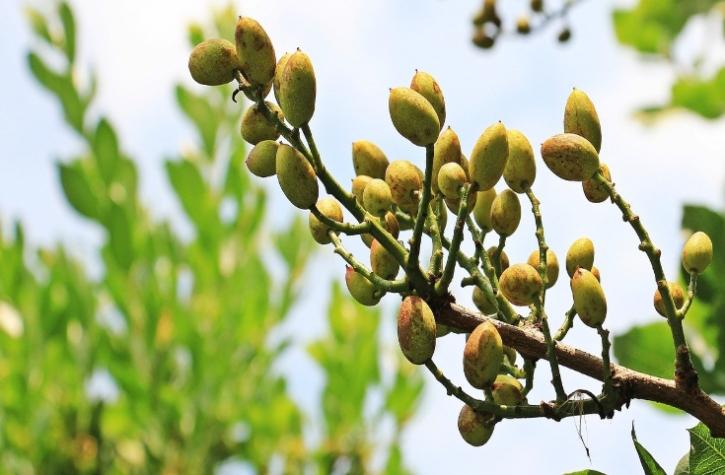 pistacchio coltivazione