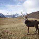 Renna: leggende, abitudini e segreti dell'animale invernale per eccellenza