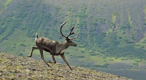 renna è un animale molto veloce