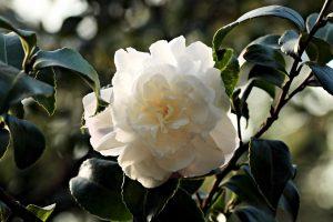 fiori bianchi giapponesi