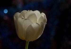 fiori bianchi simbolo della primavera