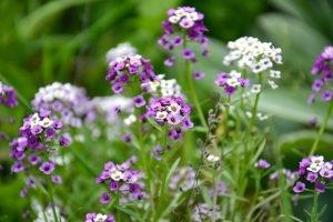 piante da esterno resistenti al sole e al freddo alisso