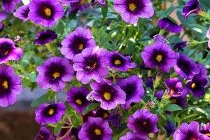 piante da esterno resistenti al sole e al freddo petunie