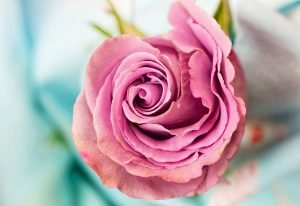 piante da esterno resistenti al sole e al freddo rose