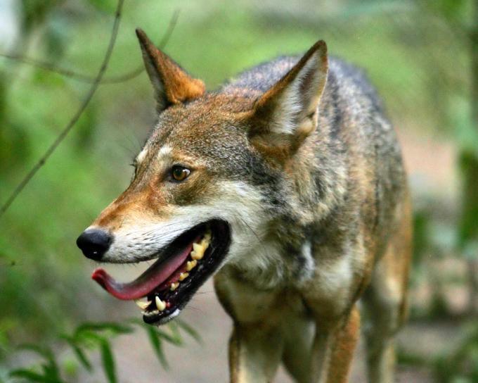 lupo rosso comportamenti e abitudini